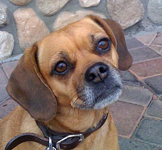 Dogs Who Brunch - LagunaBeachBest.com - Sophie the Puggle