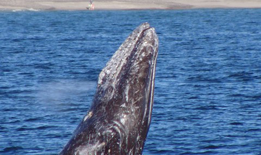 Festival of Whales Returns to Dana Point