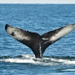 Festival of Whales 2018: Two Weeks with 60 Celebratory Events