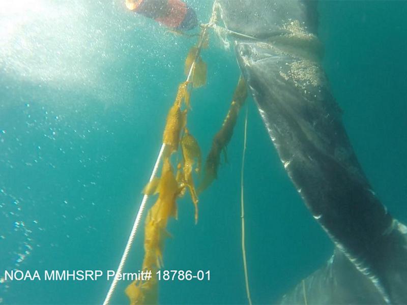 PMMC Helps Disentagle Humpback Whale
